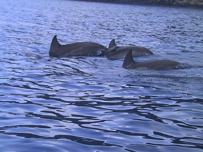 More wild dolphins seen from kayaks   (Jul 16, 2001, 08:53am)
