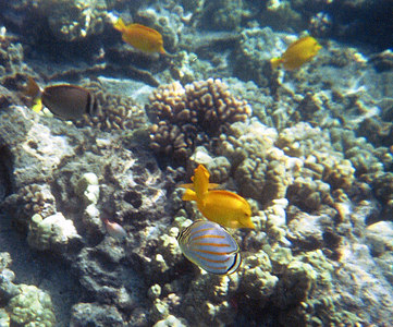 Ornate butterfly and yellow tang   (Jul 16, 2001, 10:00am)
