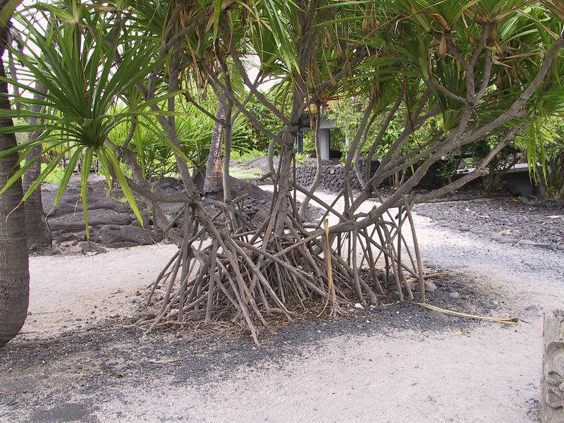 <b>Hala tree at Place of Refuge</b>   (Jul 16, 2001, 12:59pm)