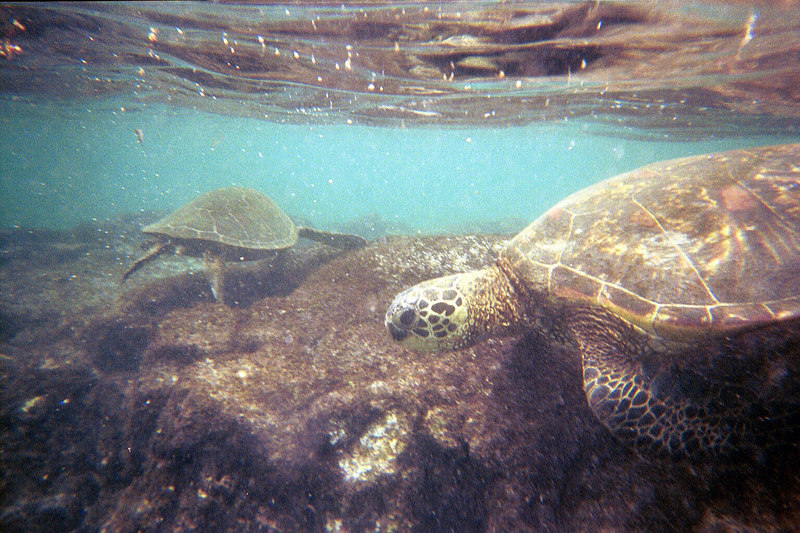 <b>Swiming with Green Sea Turtles at Place of Refuge</b>   (Jul 16, 2001, 02:00pm)