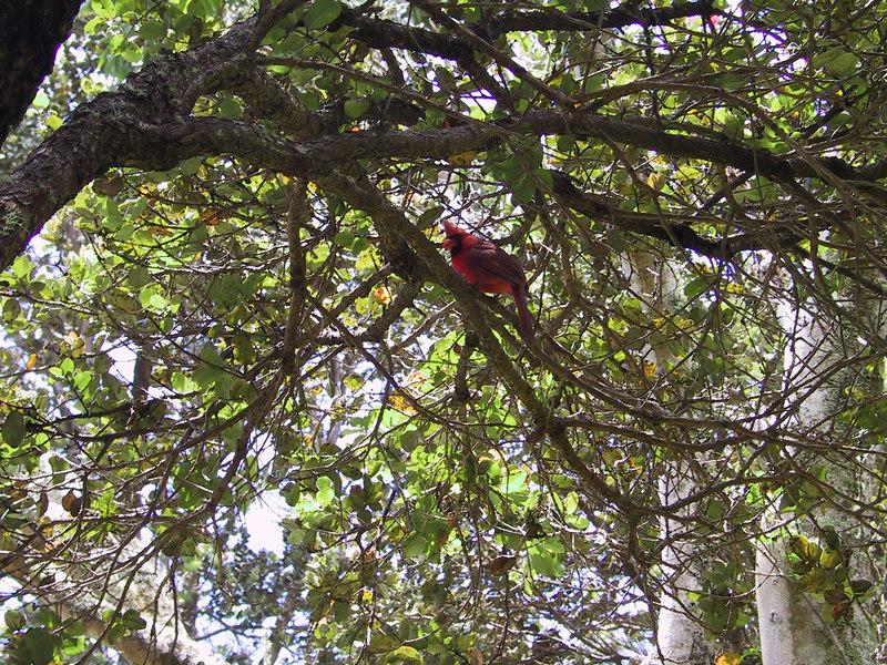 <b>Cardinal in tree at Kilauea Visitor Center</b>   (Jul 17, 2001, 01:23pm)
