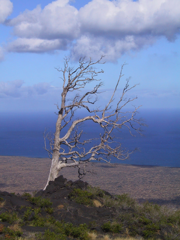 <b>Tree killed by lava flows</b>   (Jul 17, 2001, 04:24pm)