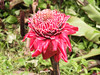 <b>Red Torch Ginger</b>   (Jul 18, 2001, 01:57pm)