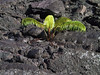 <b>More life returing to Kilauea Iki</b>   (Jul 18, 2001, 07:23am)