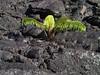<b>More life returing to Kilauea Iki</b>   (Jul 18, 2001, 07:23am)
