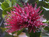 <b>Morning dew on Lehua Blossom of Ohia tree</b>   (Jul 18, 2001, 06:43am)