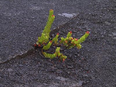 Life begins to return to Kilauea Iki crater   (Jul 18, 2001, 06:48am)