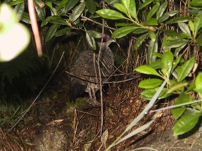 Wild chicken seen on Kilauea Iki rim trail   (Jul 18, 2001, 07:47am)