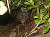 <b>Wild chicken seen on Kilauea Iki rim trail</b>   (Jul 18, 2001, 07:47am)