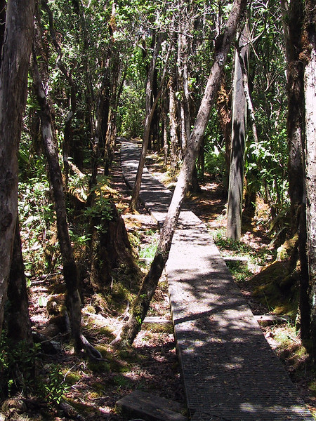<b>Pihea Trail heading towards junction of Alakai Swamp Trail</b>   (Jul 22, 2001, 01:41pm)