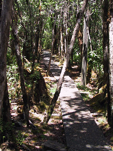 Pihea Trail heading towards junction of Alakai Swamp Trail   (Jul 22, 2001, 01:41pm)