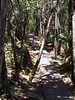 <b>Pihea Trail heading towards junction of Alakai Swamp Trail</b>   (Jul 22, 2001, 01:41pm)