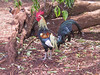 <b>We travelled 6000 miles to take pictures of chickens</b>   (Jul 22, 2001, 11:05am)