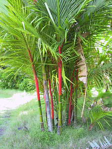 Lipstick Palm   (Jul 24, 2001, 10:30am)