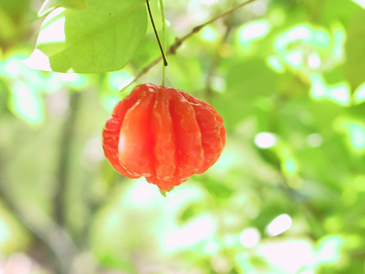 Acerola cherry   (Jul 24, 2001, 09:41am)