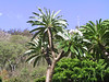 <b>Some kind of tree at Allerton Garden</b>   (Jul 24, 2001, 09:29am)