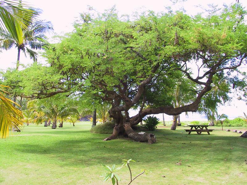 <b>Tree on grounds of Allerton Garden at Lawai Beach</b>   (Jul 24, 2001, 10:49am)