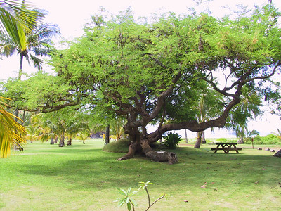 Tree on grounds of Allerton Garden at Lawai Beach   (Jul 24, 2001, 10:49am)