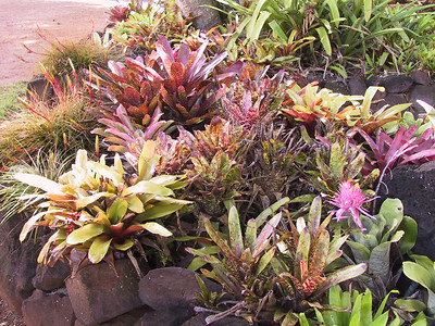 Bromeliads growing at start of Allerton Garden tour   (Jul 24, 2001, 09:25am)