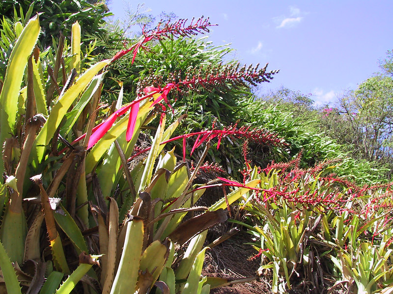 <b>Plants along walkway next to Lawai Stream</b>   (Jul 24, 2001, 10:41am)