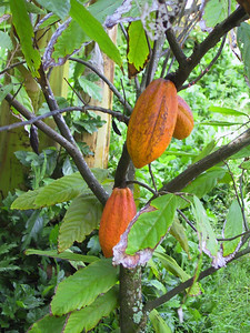 Cocoa tree and fruit source of all things yummy   (Jul 24, 2001, 10:29am)