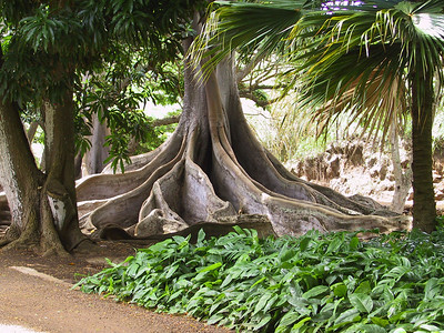 Morton Bay Fig trees as featured in Jurassic Park   (Jul 24, 2001, 10:17am)