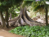 <b>Morton Bay Fig trees as featured in Jurassic Park</b>   (Jul 24, 2001, 10:17am)