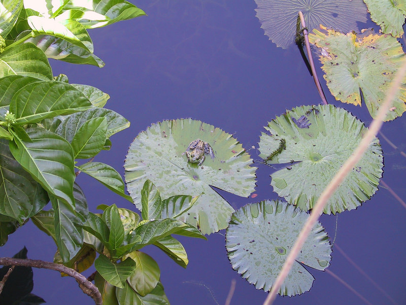 <b>Lily pond at start of Allerton Garden tour</b>   (Jul 24, 2001, 09:27am)