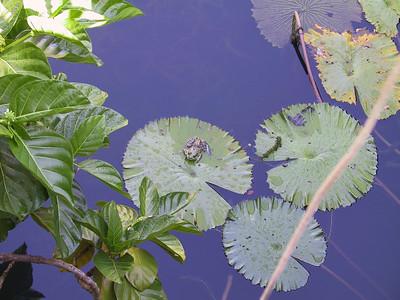 Lily pond at start of Allerton Garden tour   (Jul 24, 2001, 09:27am)