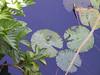 <b>Lily pond at start of Allerton Garden tour</b>   (Jul 24, 2001, 09:27am)