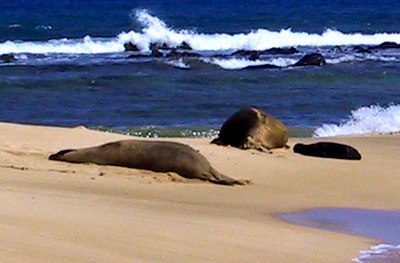 Monk seals including a new bord seal on Poipu Beach   (Jul 24, 2001, 03:33pm)