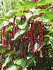 <b>Love-lies-bleeding Amaranth</b>   (Jul 24, 2001, 11:43am)