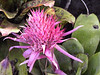<b>Pink Torch Ginger at start of Allerton Garden tour</b>   (Jul 24, 2001, 09:25am)