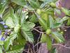 <b>Breadfruit tree</b>   (Jul 24, 2001, 09:27am)