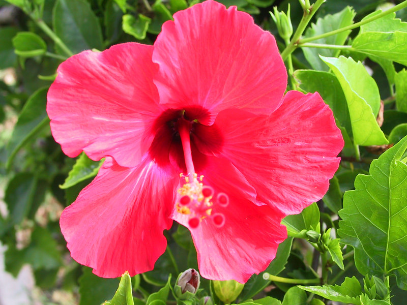 <b>Red Hybiscus</b>   (Jul 26, 2001, 05:14pm)