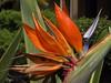 <b>Bird of Paradise flower</b>   (Jul 26, 2001, 10:40am)