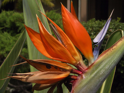 Bird of Paradise flower   (Jul 26, 2001, 10:40am)