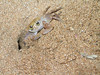 <b>This crab is clearing sand out from his lair</b>   (Jul 28, 2001, 06:10am)