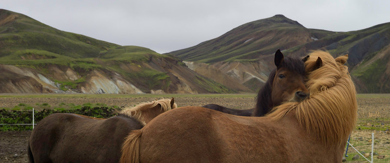 Icelandic horses nuzzle for warmth. The horses may be rented for day rides into the mountains surrounding Landmannalaugar.