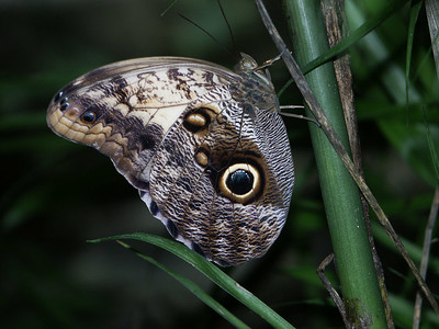 Owl Butterfly at Xcaret   (Dec 29, 2002, 01:18pm)