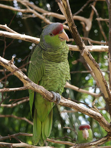 Amazon parrot   (Dec 29, 2002, 12:16pm)