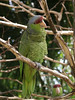 <b>Amazon parrot</b>   (Dec 29, 2002, 12:16pm)