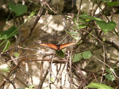Danaus gilupus butterfly   (Dec 29, 2002, 01:22pm)