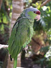 <b>Amazon parrot</b>   (Dec 29, 2002, 12:24pm)