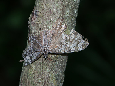 This butterfly blends into the tree   (Dec 29, 2002, 01:18pm)