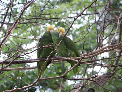Yellow-headed Amazon parrots   (Dec 29, 2002, 12:19pm)