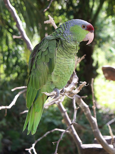 Amazon parrot   (Dec 29, 2002, 12:23pm)