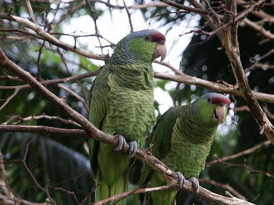 Green-cheeked Amazon parrots   (Dec 29, 2002, 11:51am)