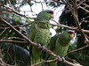 <b>Green-cheeked Amazon parrots</b>   (Dec 29, 2002, 11:51am)