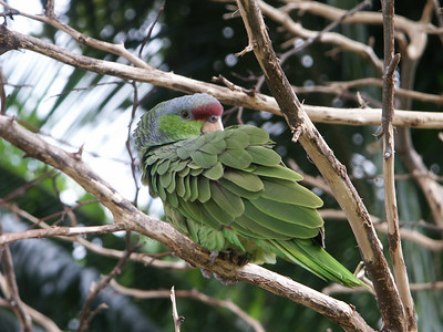Amazon parrot cleaning his wing   (Dec 29, 2002, 12:18pm)